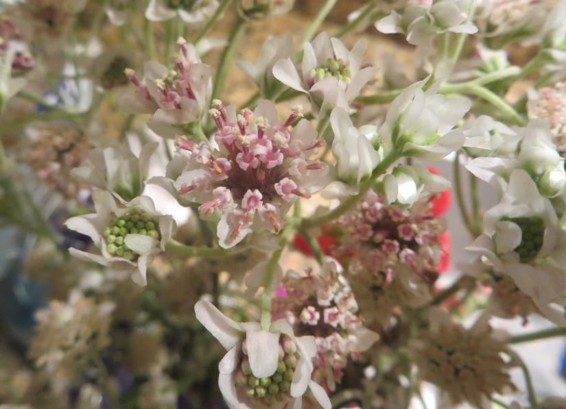Hymenopappus scabiosaeus L'Hér.  Carolina woollywhite, Old Plainsman, Woolly-White