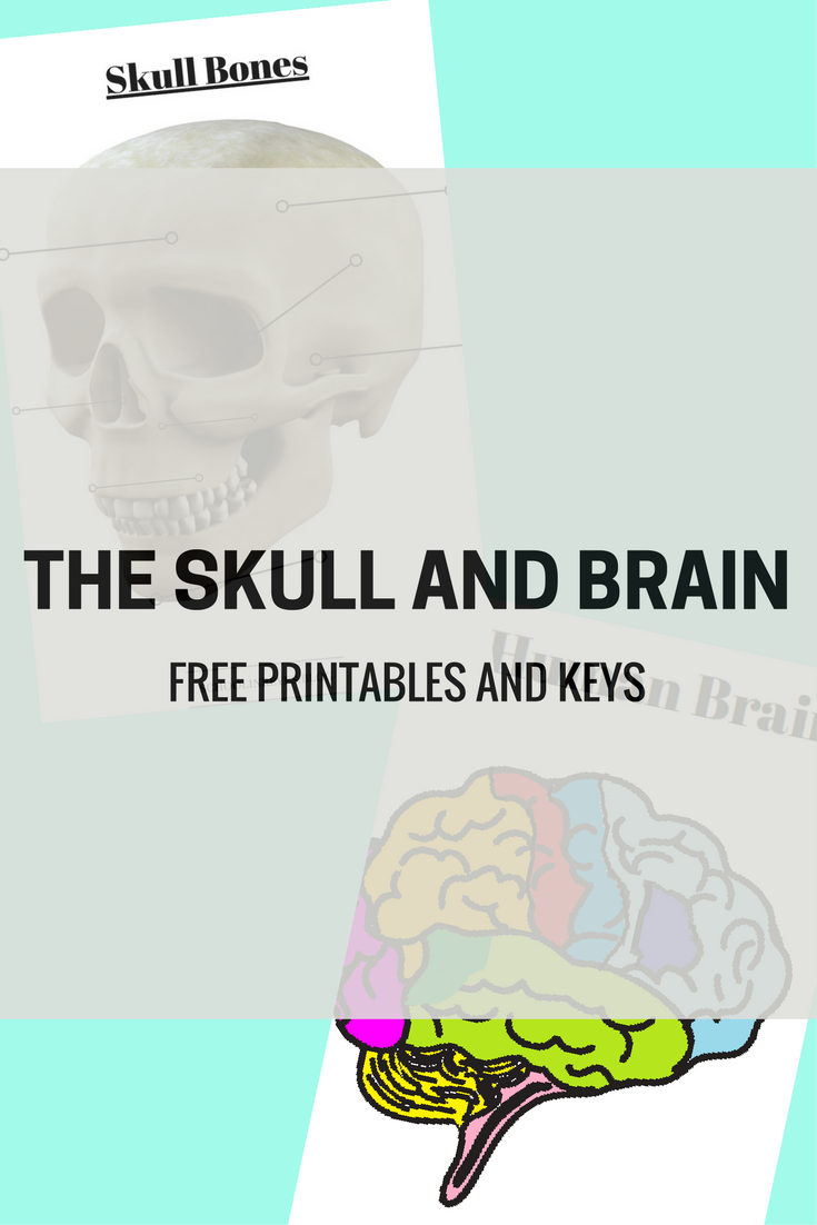 THE SKULL AND BRAIN
